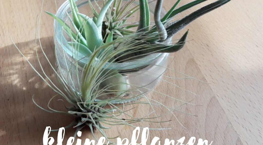 Luftpflanzen – kleine Zimmerpflanzen mit großer Wirkung