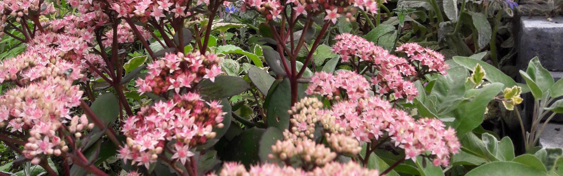 Fetthenne – Rosa Herbstfreude