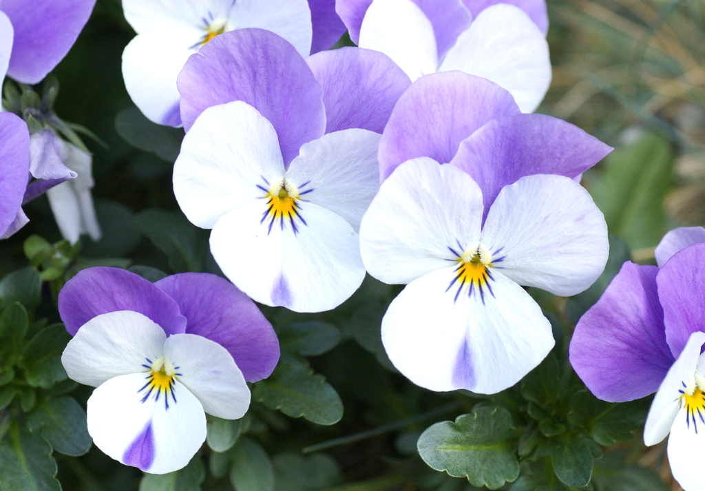 Hornveilchen – Viola cornuta