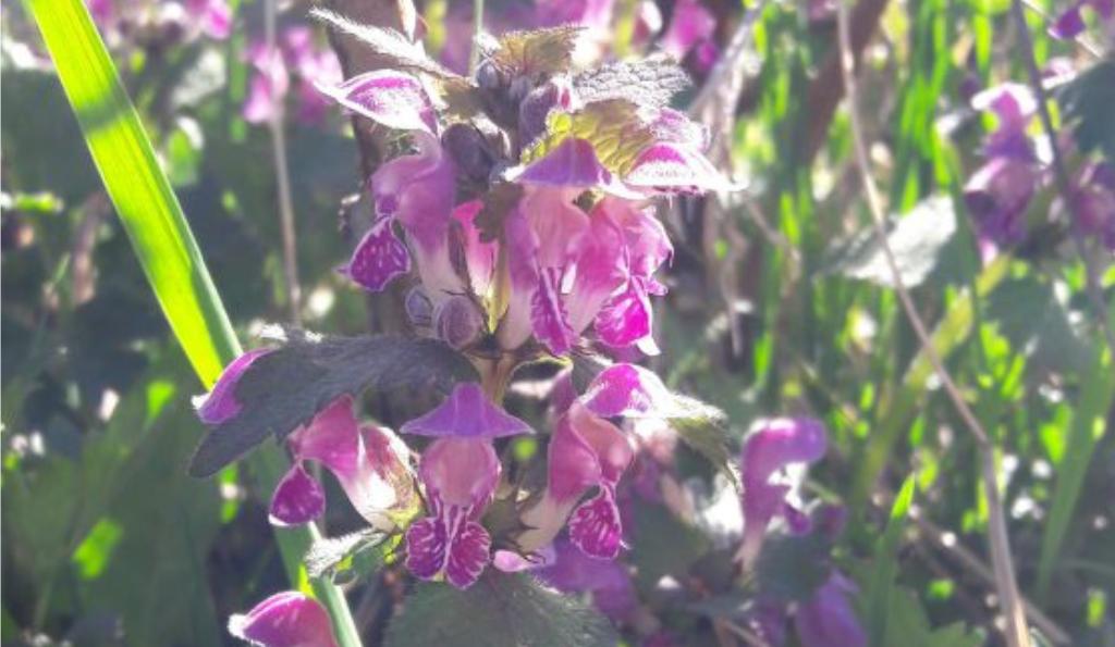 Purpurrote Taubnessel – bienenfreundlich & genügsam