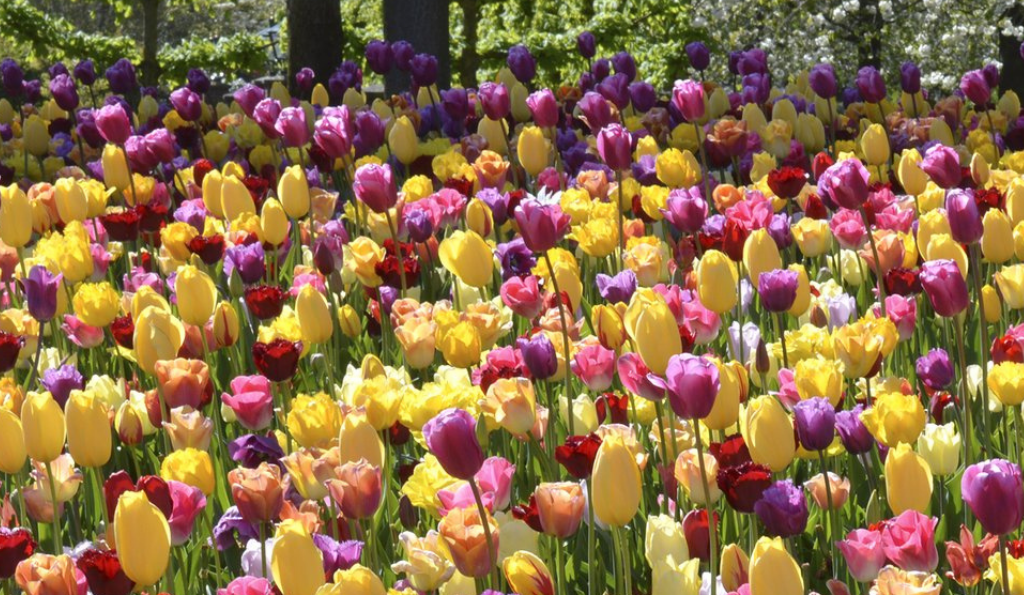 Frühling im Kopf – Die besten Tipps für Tulpen im Beet